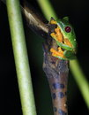 Red-eyed tree frog clinging to plant, night. Royalty Free Stock Photo