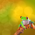 Red eyed tree frog from costa rica rain forest beautiful tropical treefrog on a bright background with copy space exotic Royalty Free Stock Photo