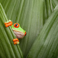 Red eyed tree frog curious animal green background Royalty Free Stock Photo