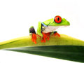 Red eyed tree frog sitting green sansevieria leaf white background agalychnis callidryas Stock Images
