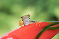 Red-eyed tree frog on plant Royalty Free Stock Photo