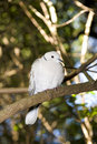 Red eyed Turtle dove or Half collared dove Royalty Free Stock Photo
