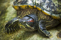 Red face turtle Royalty Free Stock Photo