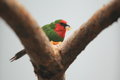 Red faced parrot finch the on the tree Stock Image