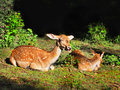 Red Fallow Deers Royalty Free Stock Photo