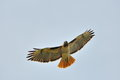 Red feathers beautiful tailed hawk tail really stand out Stock Photo