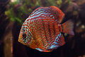 Red fish aquarium with beautiful pattern Royalty Free Stock Photography