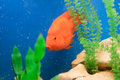 Red Fish in Blue Aquarium Stock Photos