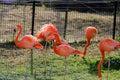 Red flamingo in kumamoto zoological and botanical garden photo was taken japan Royalty Free Stock Photography