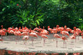 Red flamingos Royalty Free Stock Photos