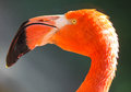 Red flamingos closeups of phoenicopterus ruber Royalty Free Stock Photos