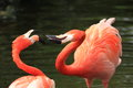 Red flamingos the couple of Royalty Free Stock Photography