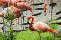 Red flamingos group of in a park Royalty Free Stock Photo