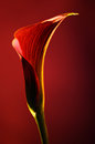 Red flower calla on red background, soft focus photography for flower shop Royalty Free Stock Photo