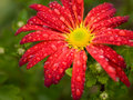 Red flower chrysanthemum Royalty Free Stock Photography