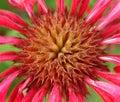 Rosa flor