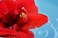 Red flower floating blue water Stock Photo