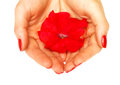 Red flower in her hands Royalty Free Stock Photo