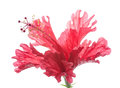 Red flower hibiscus isolated on white Royalty Free Stock Images