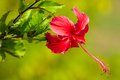 Red flower hibiscus rosa sinensis close up Stock Photography