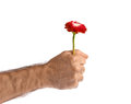 Red flower in man hand fist isolated on white Royalty Free Stock Image
