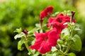 Red flower petunia surfinia vein in simmer garden Stock Photography