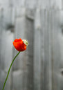 Red flower the photo of behind there s an old cottage Royalty Free Stock Image