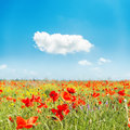 Red flower of poppies on field and blue sky Royalty Free Stock Photo