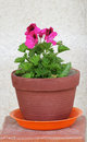 Red flower in a pot picture of Stock Image