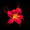 Red flower splashes bright with on black background Stock Photos