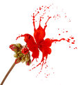 Red flower splashes bright with on white background Royalty Free Stock Photos
