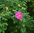 Red flower of wild rose on green foliage background Royalty Free Stock Photos