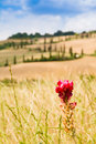 Red flower and winding road in crete senesi tuscany italy on a field with a slighty defocused the background Royalty Free Stock Photography