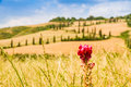 Red flower and winding road in crete senesi tuscany italy on a field with a slighty defocused the background Royalty Free Stock Photo