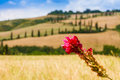 Red flower and winding road in crete senesi tuscany italy near a flanked with cypresses near siena Royalty Free Stock Photography