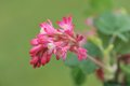 Red flowering currant on green background a close up of a ribes sanguineum Royalty Free Stock Photography
