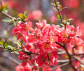 Red flowering quince spring flowers blossoming chaenomeles japanese Stock Photos