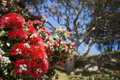 Red flowering tree. Stock Photo