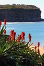 Red flowering tropical plant at coastal landscape scrub the mona vale beach with a cliff in the background and the blue waters Royalty Free Stock Photos
