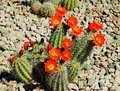 Red flowers of an arizona cactus in full bloom in the summertime many are cacti are grouped close together cacti are young Stock Images