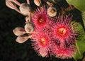 Red Flowers Australian Eucalyptus Gum Tree Royalty Free Stock Photo