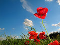 Red flowers and blue sky Royalty Free Stock Photo