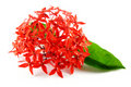 Red Flowers with Green Leaf Royalty Free Stock Photo