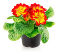Red flowers with green leaves in the pot Stock Images