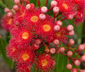 Red flowers of Australian gum tree eucalyptus Royalty Free Stock Photo