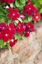 Red flowers hanging on the wall Royalty Free Stock Photo