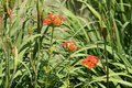 Red flowers of Lychnis chalcedonica or Maltese Cross plant