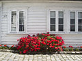 Red flowers outside wooden house in norway a white scandinavia Stock Photography