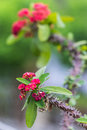 Red flowers poi sian flower in thailand Royalty Free Stock Photos