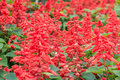 Red flowers of scarlet sage salvia splendens or tropical Stock Photos